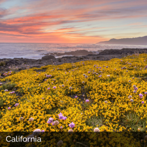 California coast at sunrise with yellow and purple flowers in the foreground